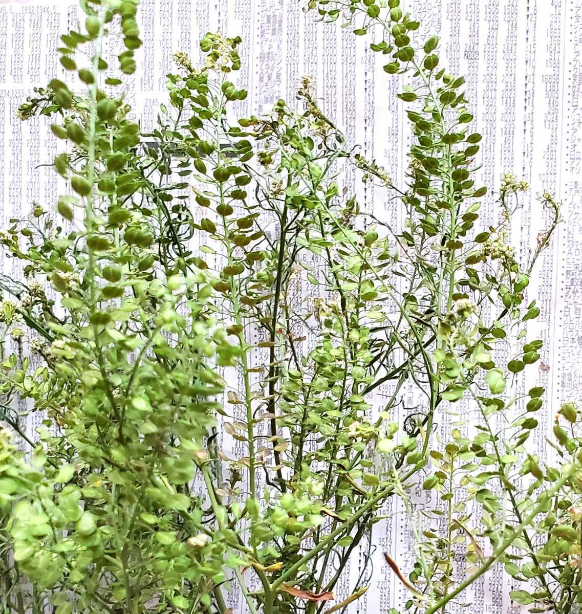 マメグンバイナズナ 種 200粒以上 アブラナ科 ドライフラワー スワッグ リース アレンジ 山野草 _画像4