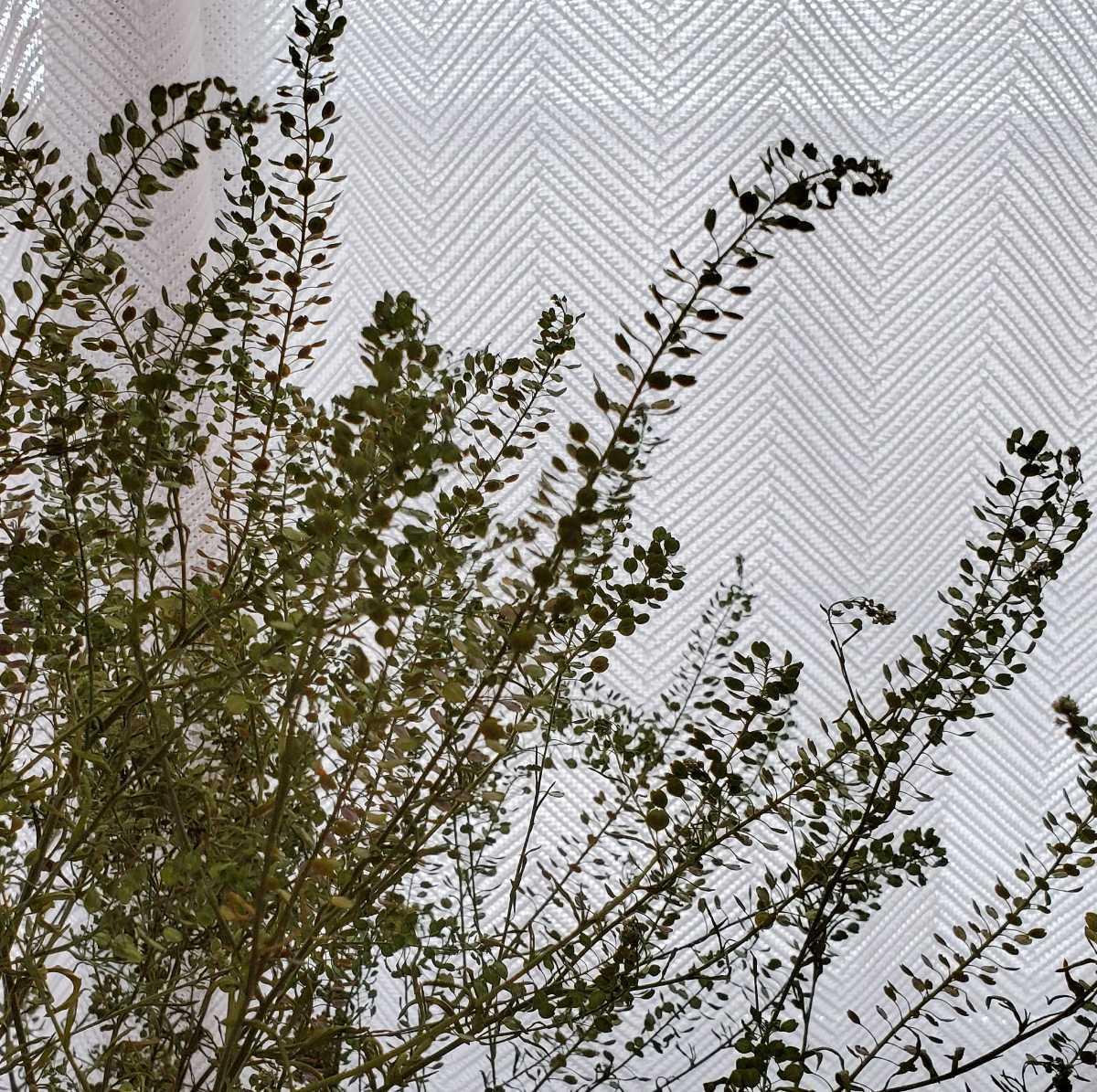 マメグンバイナズナ 種 100粒以上 アブラナ科 ドライフラワー スワッグ リース アレンジ 山野草 _画像3