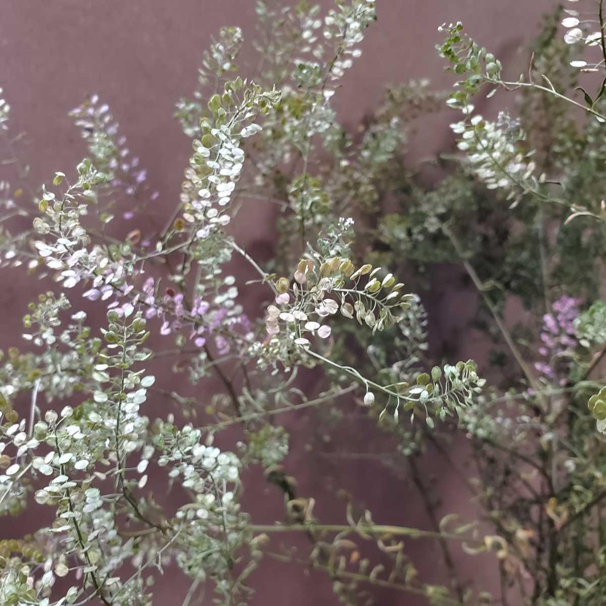 マメグンバイナズナ 種 100粒以上 アブラナ科 ドライフラワー スワッグ リース アレンジ 山野草 _画像1