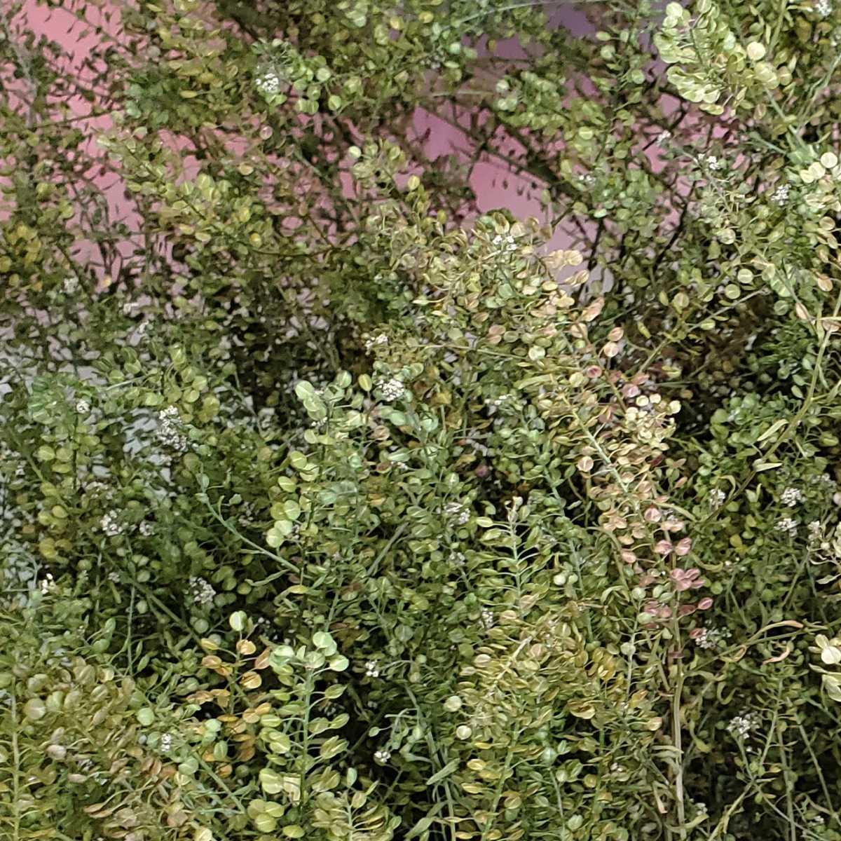 マメグンバイナズナ 種 200粒以上 アブラナ科 ドライフラワー スワッグ リース アレンジ 山野草 _画像2