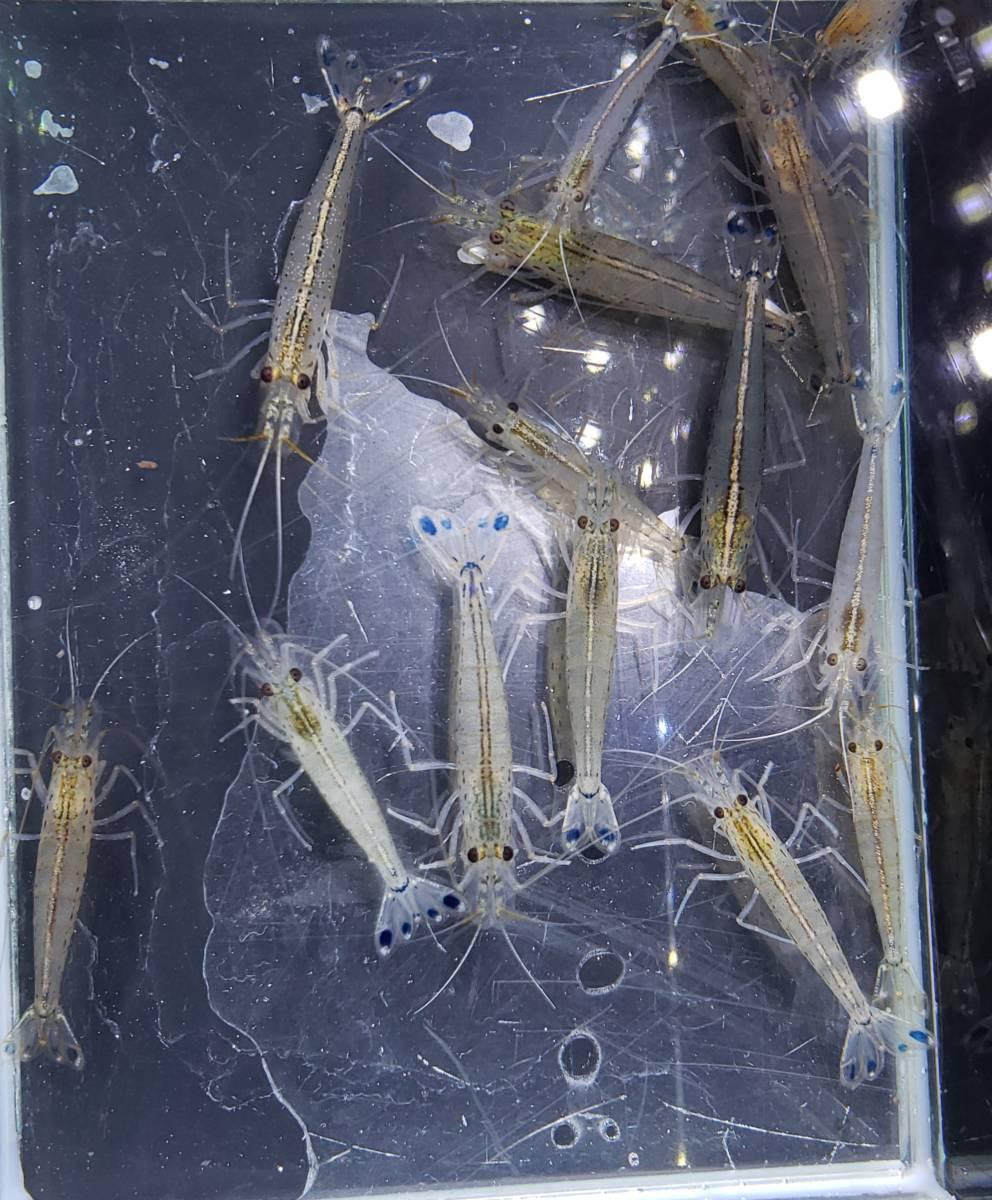 即決 10匹 ヤマトヌマエビ 約2~4cm※九州地方、沖縄県、北海道には発送出来ません※_画像2
