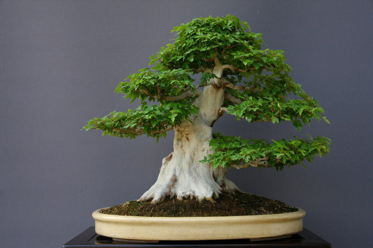 (株)一樹園   楓   大品盆栽/樹齢70年_画像1