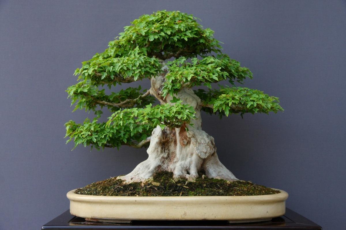 (株)一樹園   楓   大品盆栽/樹齢70年_画像5
