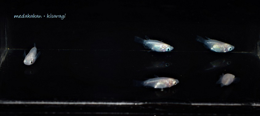 【メダカ舘・如月】激レア超極上ダルマメダカmix(ブラックダイヤ、紅帝ヒレ長、ピュアホワイト)12匹+おまけ1匹の計13匹『現物出品』G-②_出品個体(現物)です。雌個体