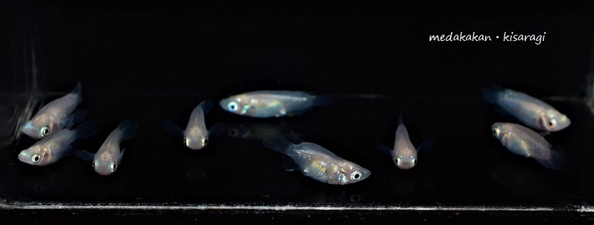 【メダカ舘・如月】激レア極上ピュアホワイト本ダルマめだか(白半透明鱗メダカ・MLサイズ)雄4匹、雌5匹+1匹の計10匹『現物出品』G-①_出品個体(現物)です。