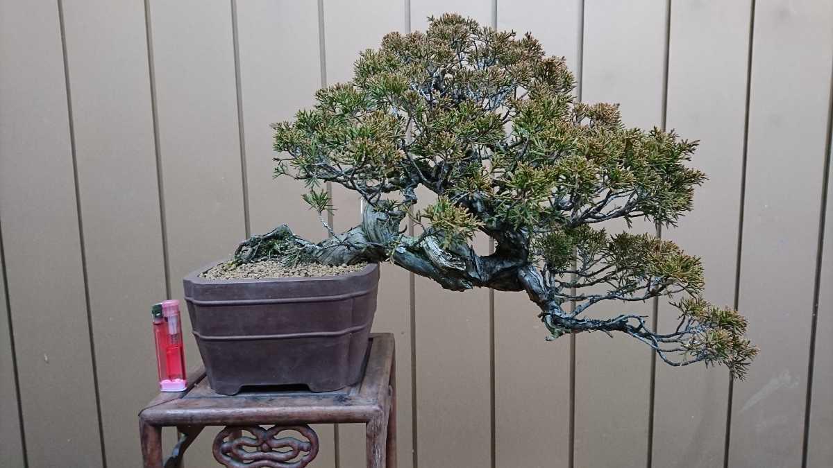 盆栽 糸魚川真柏 樹高24cm_画像9