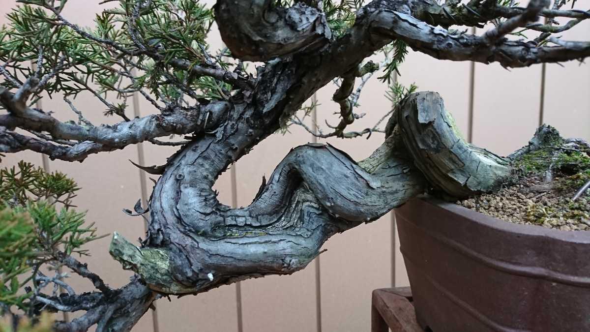 盆栽 糸魚川真柏 樹高24cm_画像2