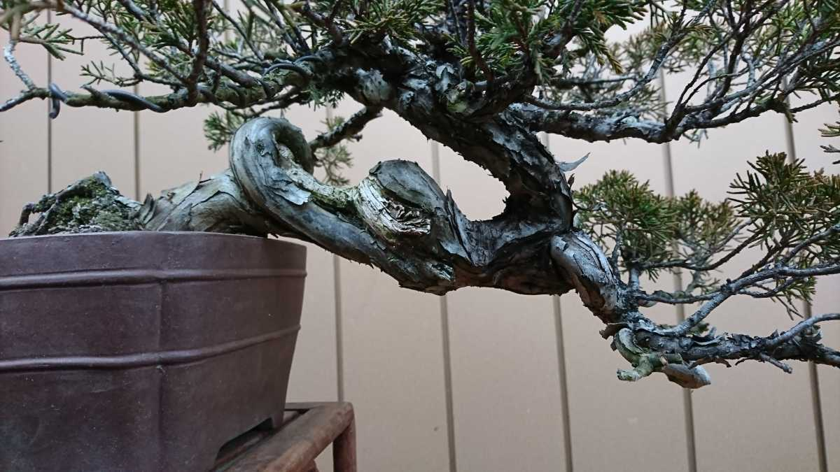 盆栽 糸魚川真柏 樹高24cm_画像10