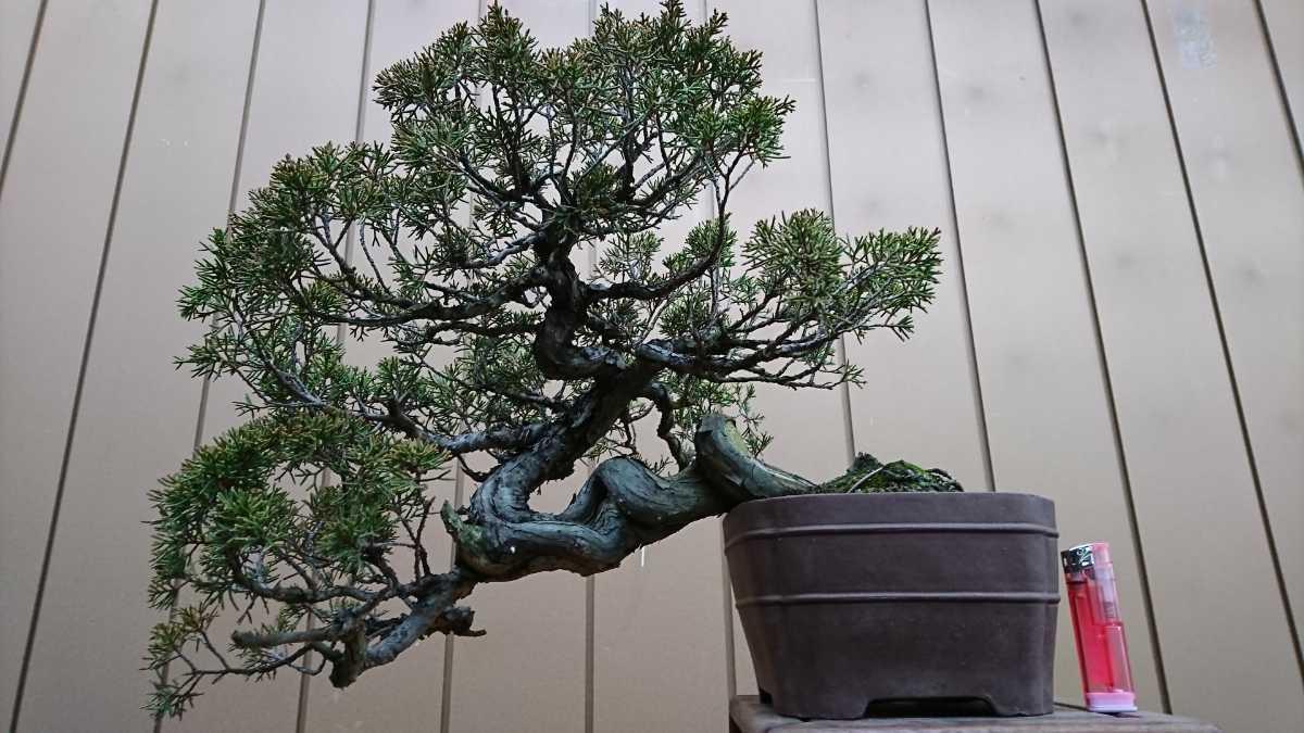 盆栽 糸魚川真柏 樹高24cm_画像3