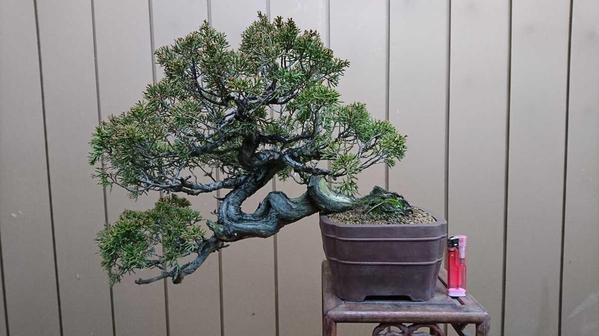 盆栽 糸魚川真柏 樹高24cm_画像1