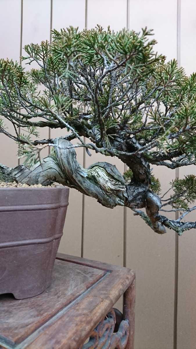 盆栽 糸魚川真柏 樹高24cm_画像8