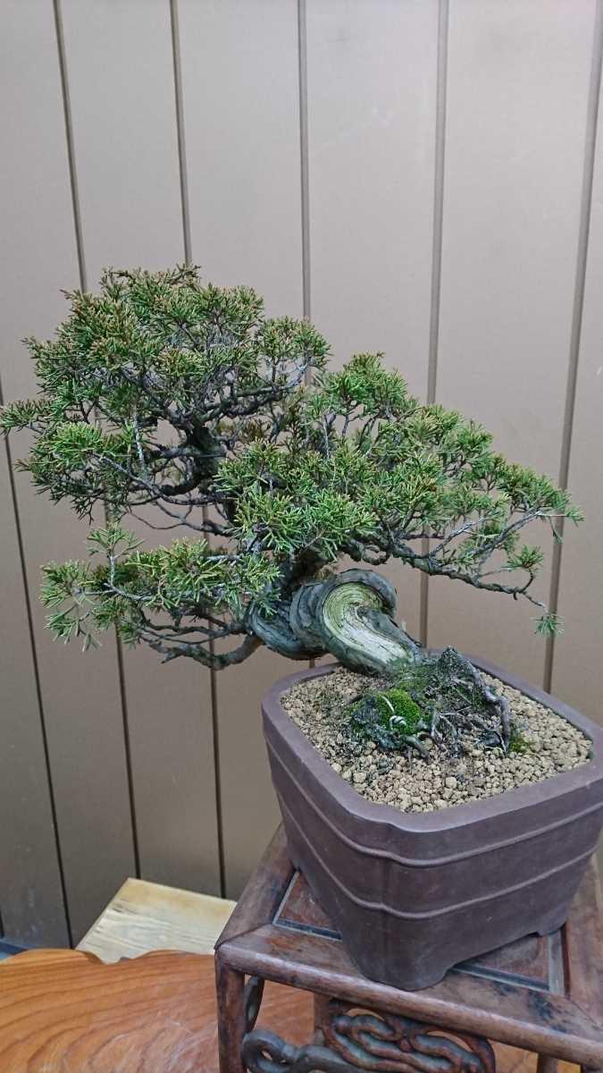 盆栽 糸魚川真柏 樹高24cm_画像5
