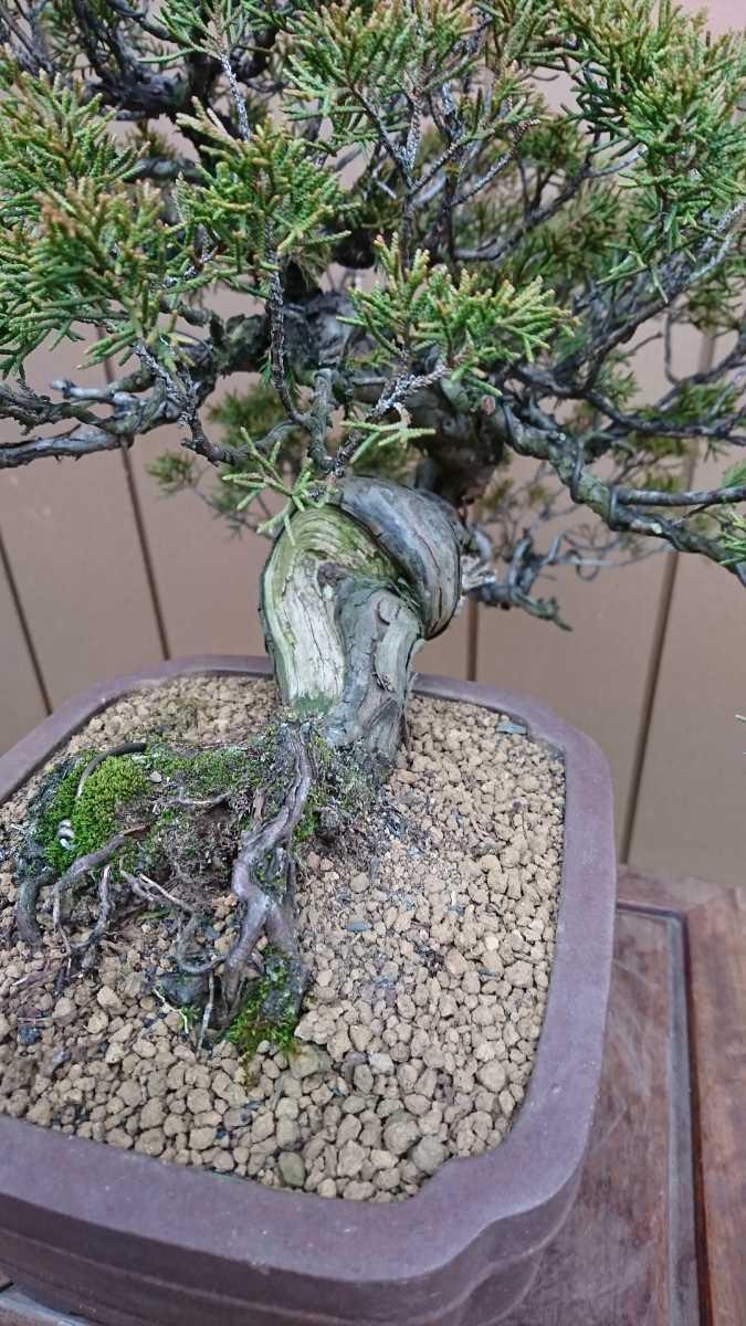 盆栽 糸魚川真柏 樹高24cm_画像7