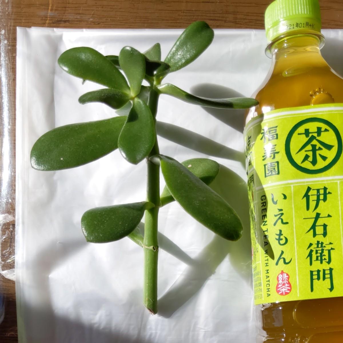 金のなるき  多肉植物 カット苗
