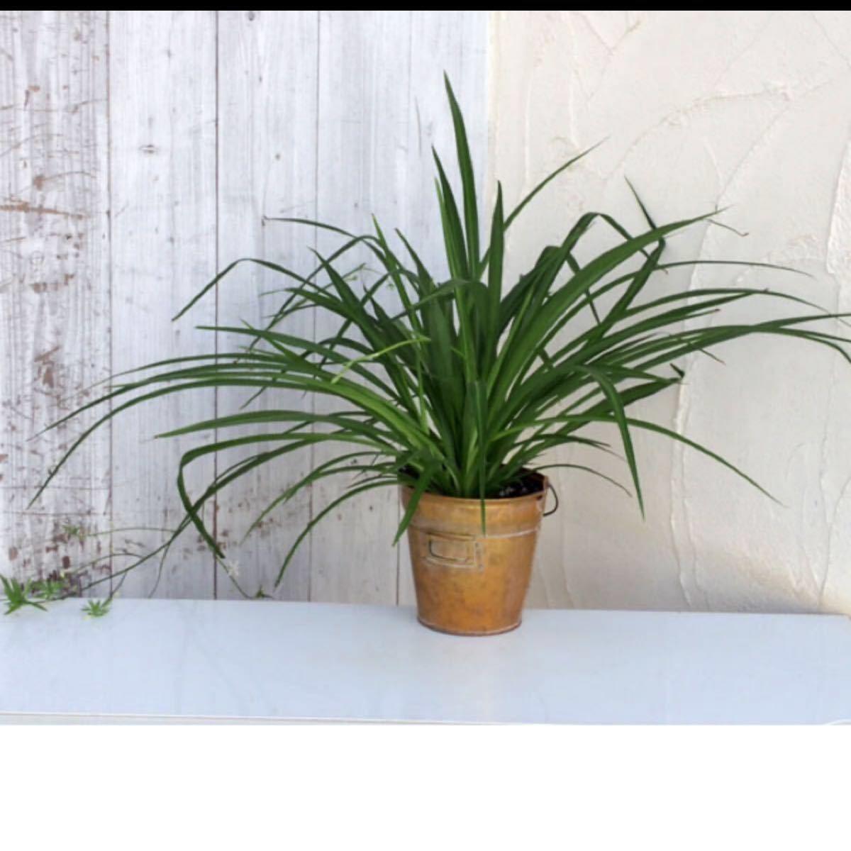 観葉植物 アオ オリヅルラン 青 発根 子株3つ 苗