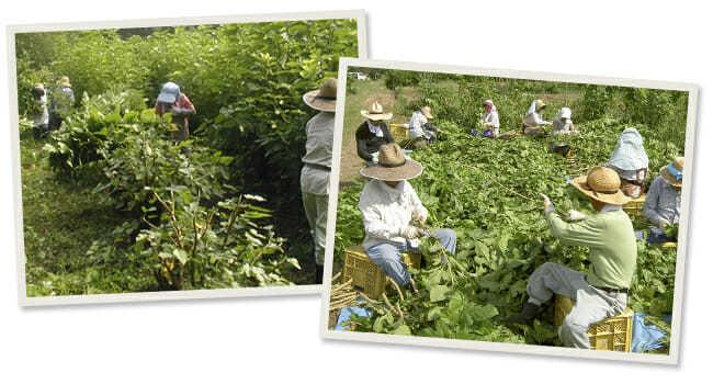 JAS有機 特選 桑茶(40g)無農薬オーガニックのマルベリーハーブ茶☆有機栽培☆島根県産☆シーズン最初の新茶の茶葉のみを詰めた特選品です♪_画像5