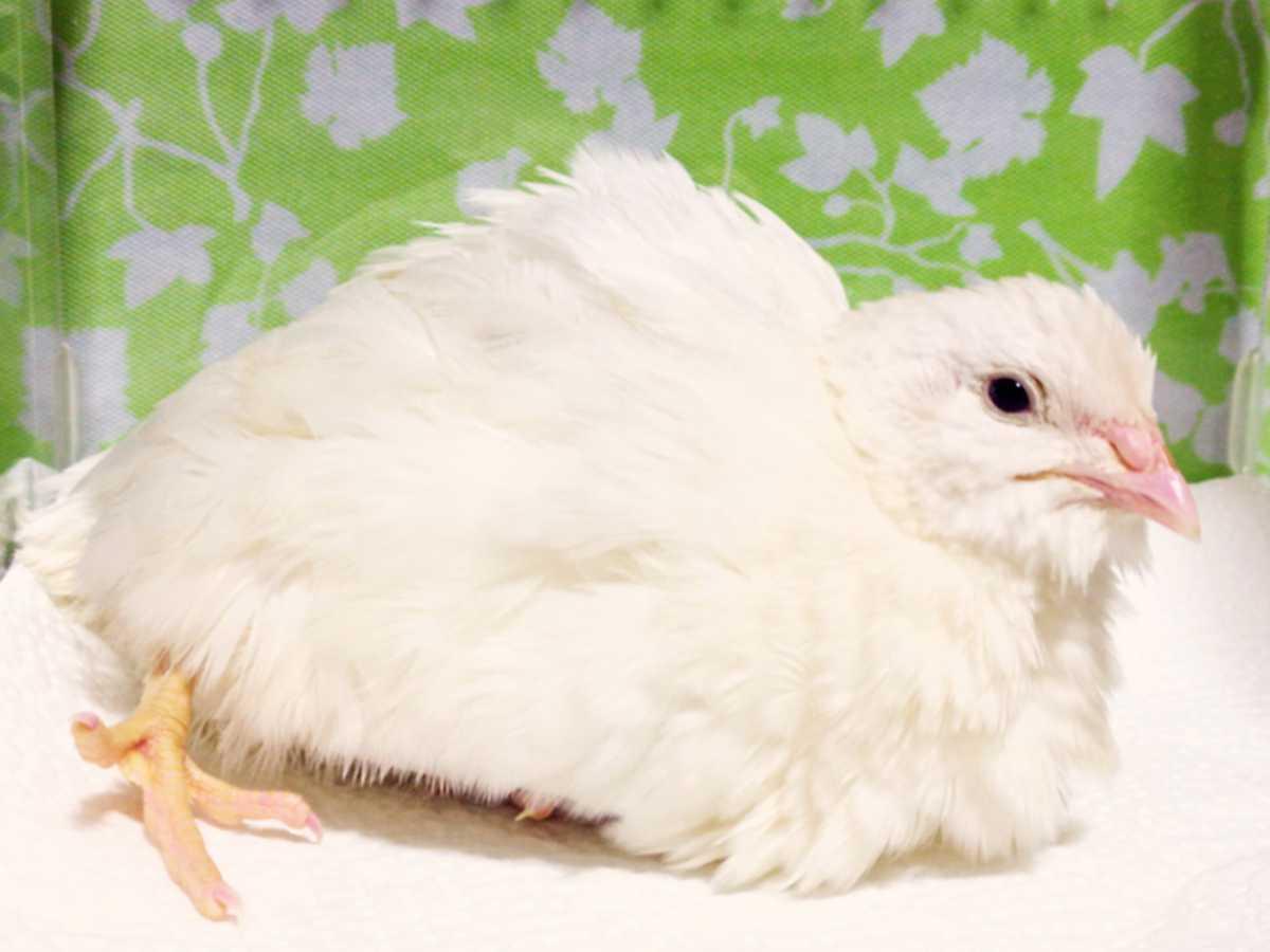 色変わり並ウズラの種卵16個 並うずら 並鶉 日本ウズラ 日本うずら 日本鶉 有精卵_画像3