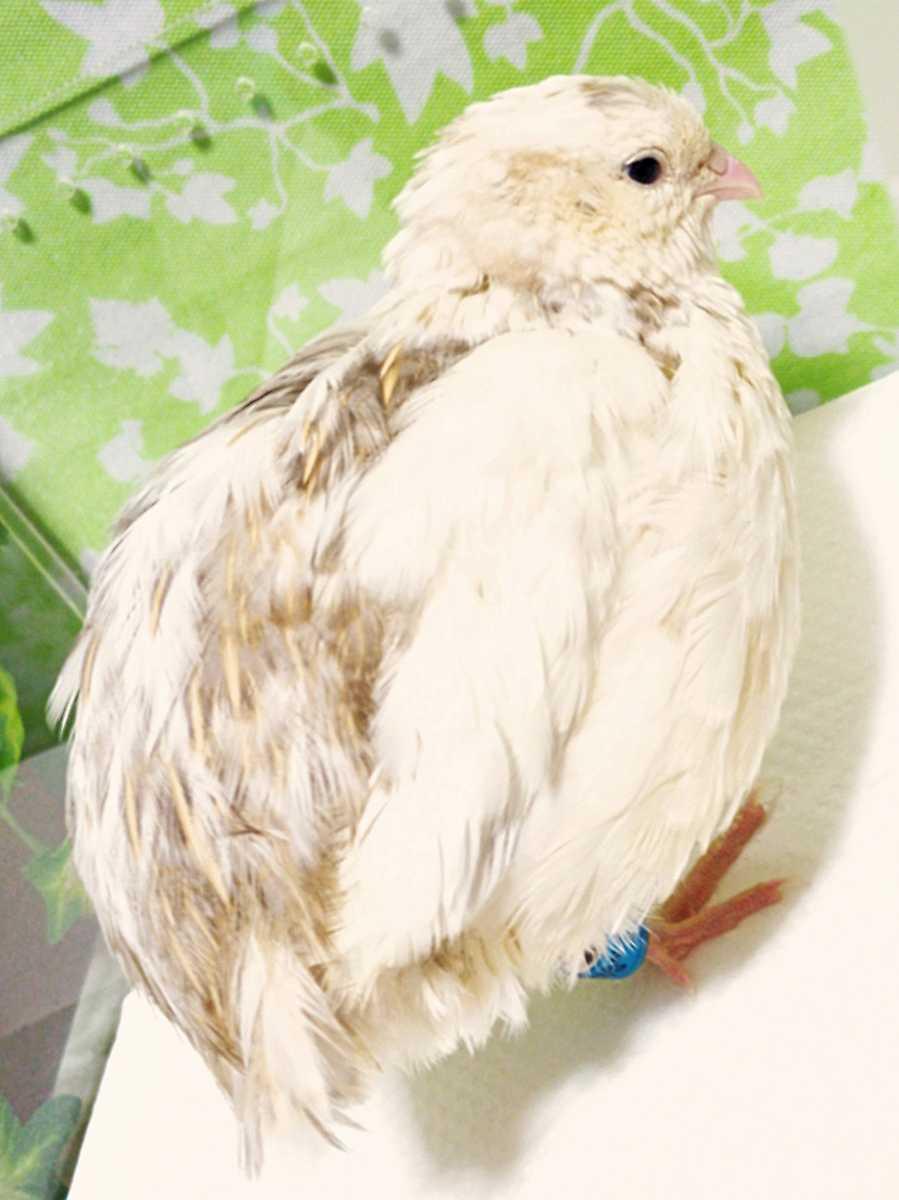 色変わり並ウズラの種卵16個 並うずら 並鶉 日本ウズラ 日本うずら 日本鶉 有精卵_画像1