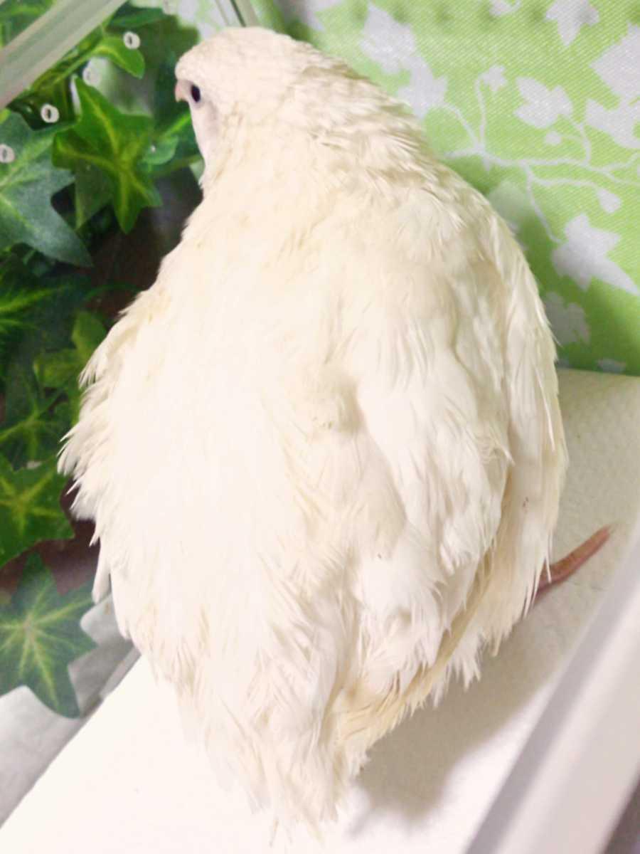 色変わり並ウズラの種卵16個 並うずら 並鶉 日本ウズラ 日本うずら 日本鶉 有精卵_画像4