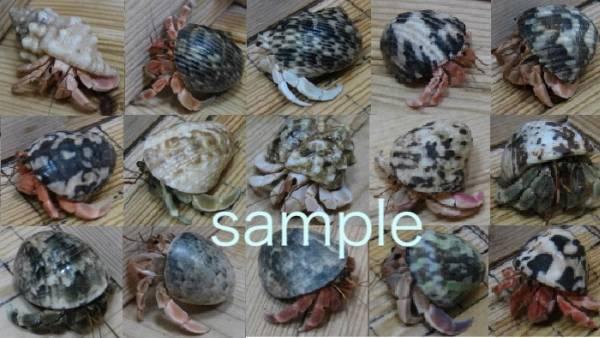 Okaya Dokari red system @ Enjoyment + Size! Three sets (with shellfish) (ST3)