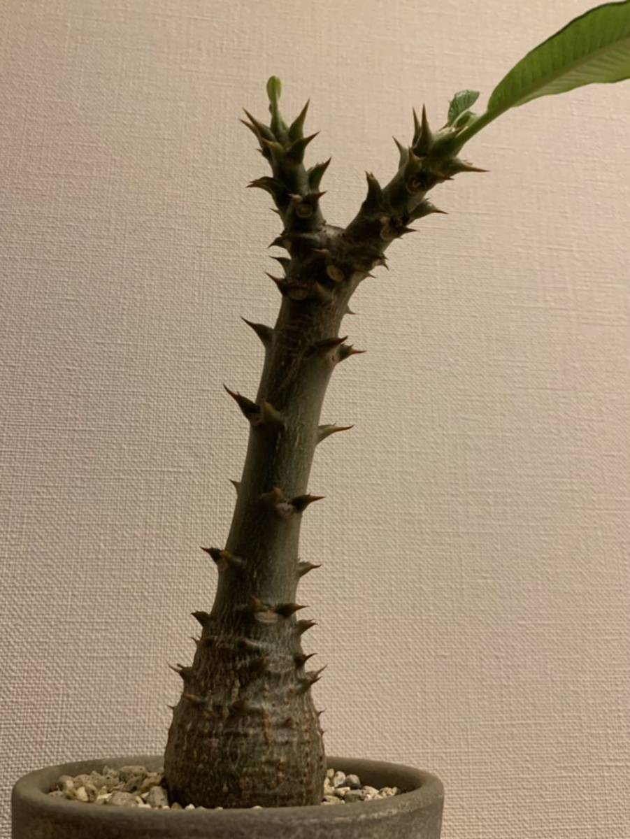 パキポディウム ウィンゾリー(Pachypodium baronii var. windsorii )塊根植物(コーデックス)_画像3