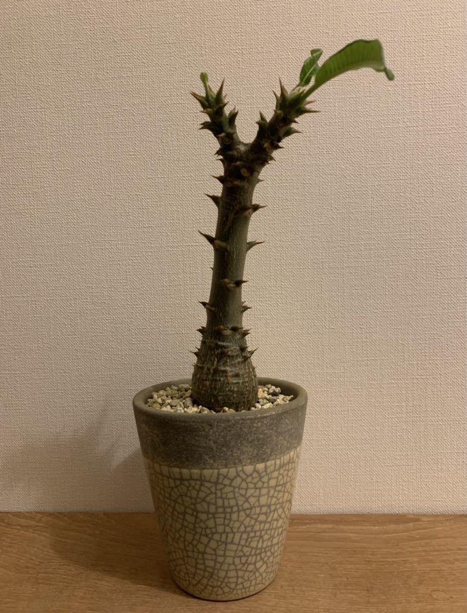 パキポディウム ウィンゾリー(Pachypodium baronii var. windsorii )塊根植物(コーデックス)_画像1