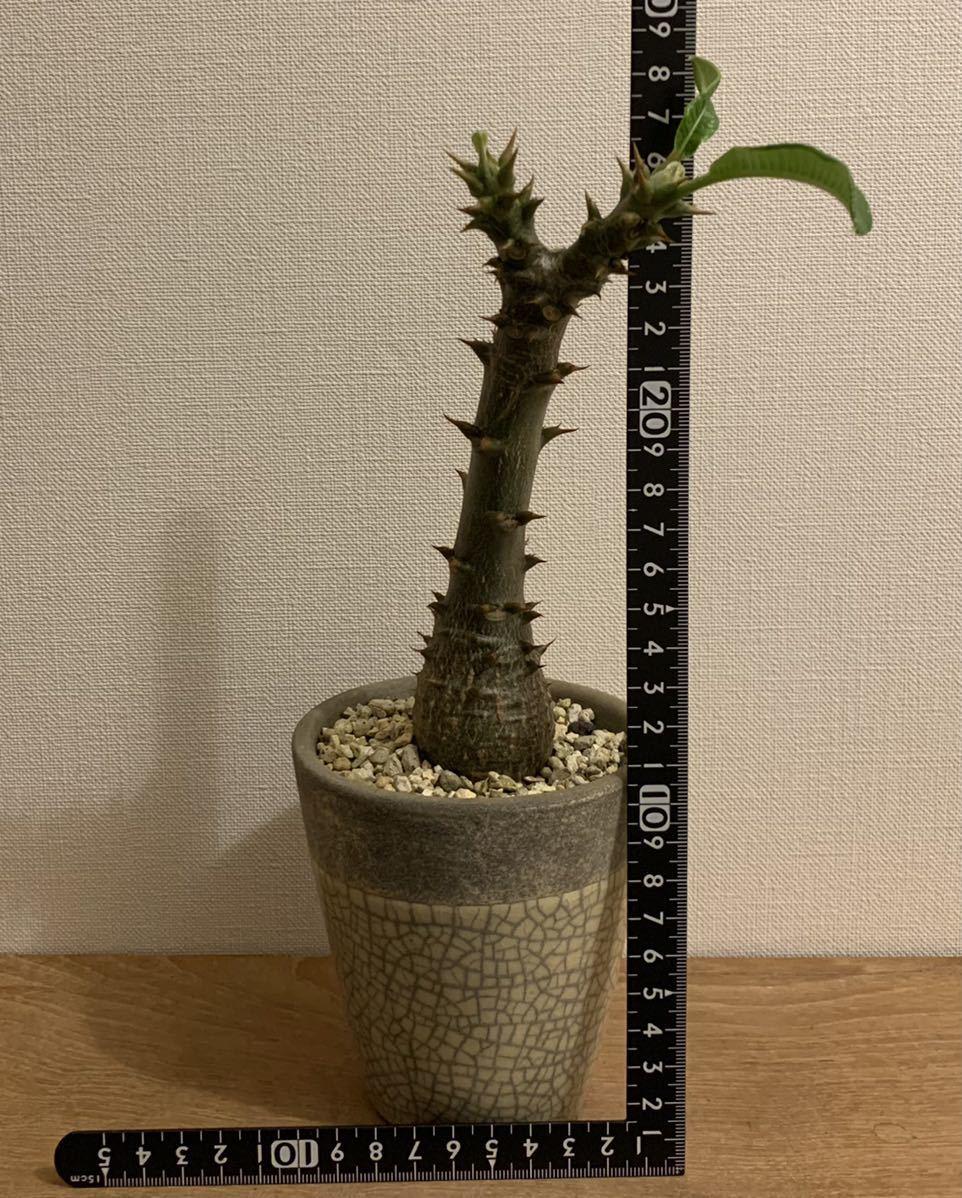 パキポディウム ウィンゾリー(Pachypodium baronii var. windsorii )塊根植物(コーデックス)_画像5