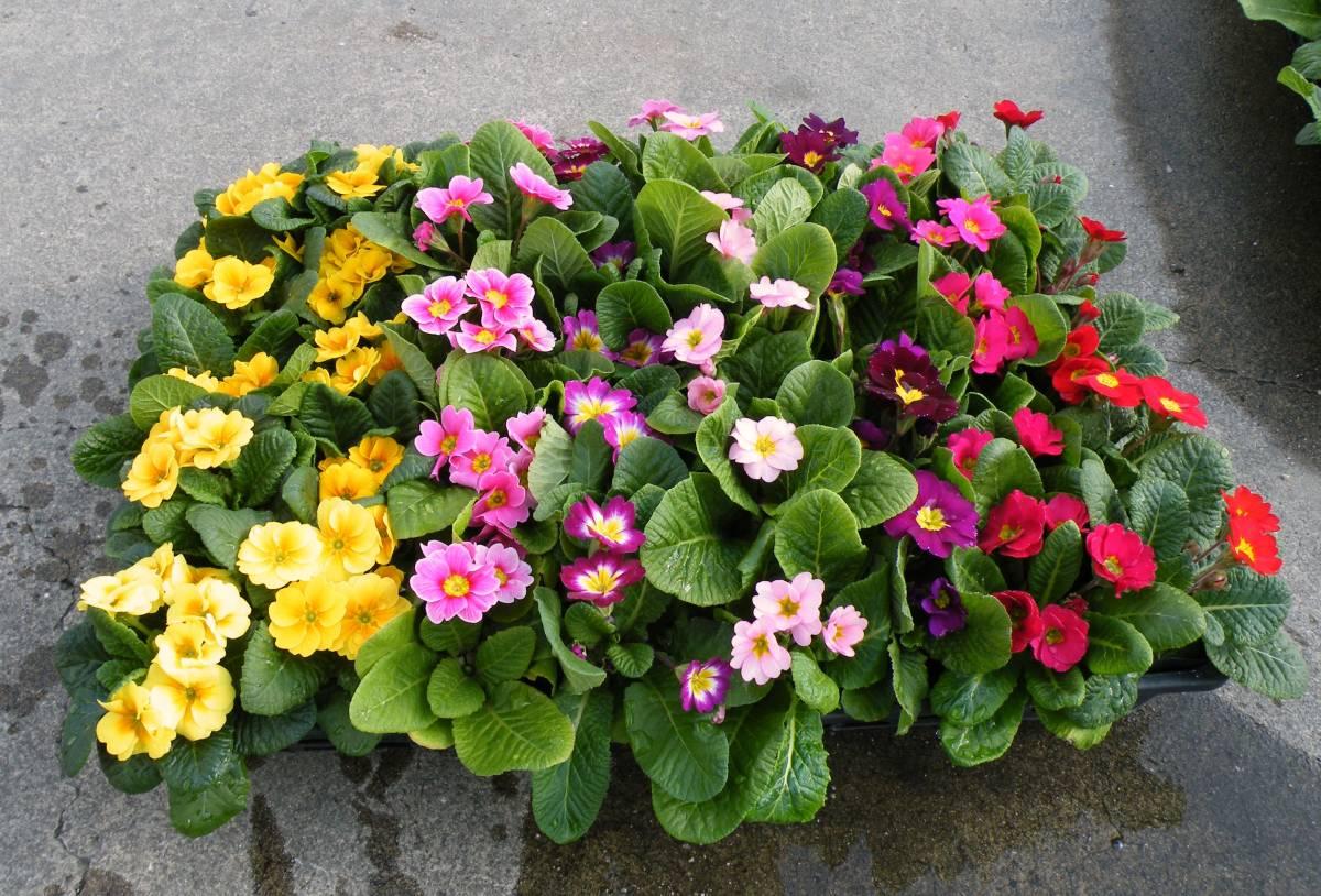 【農園】■プリムラ ジュリアン■花苗4色ミックス 20ポット _40ポット