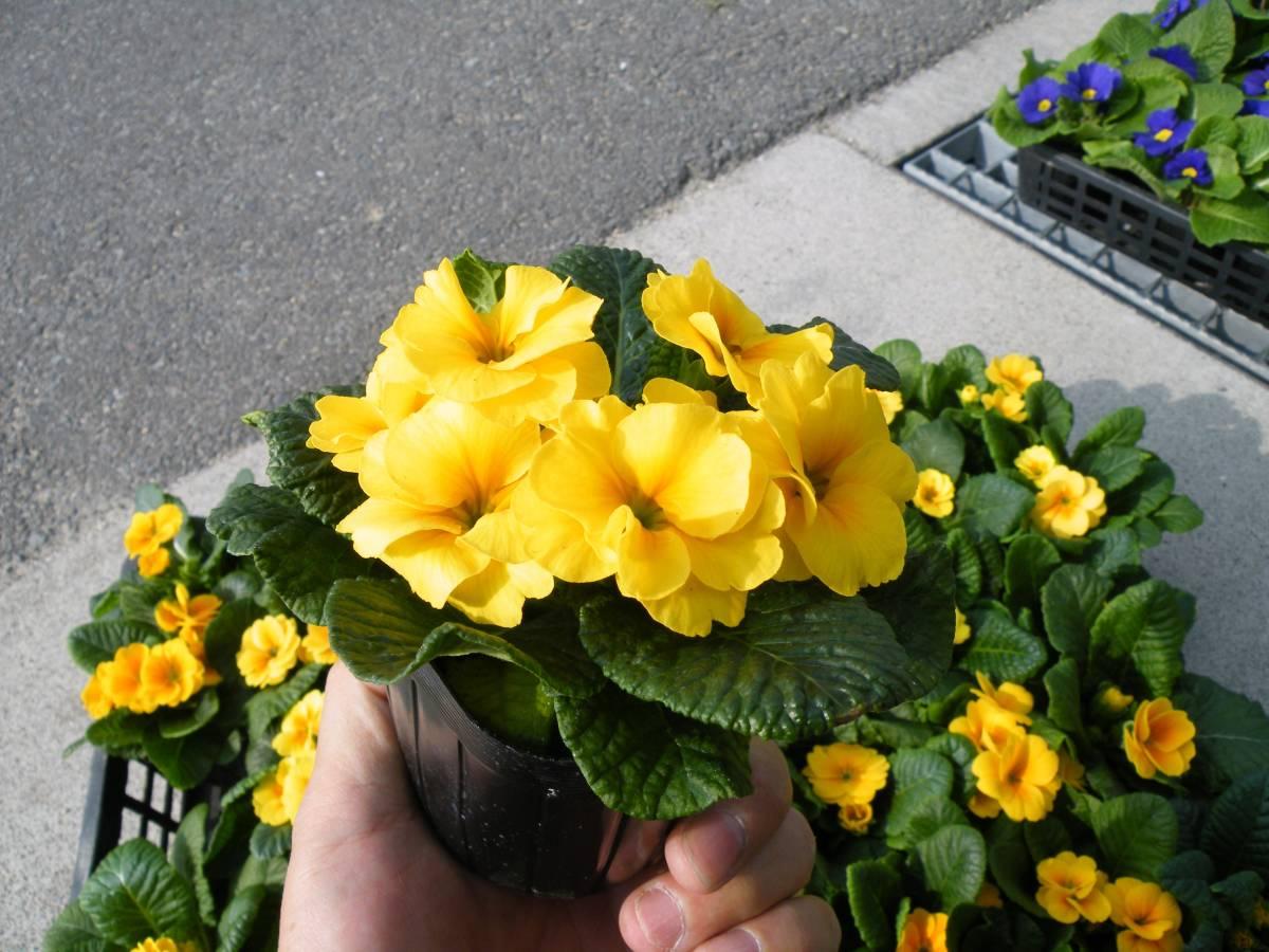 【農園】■プリムラ ジュリアン 黄色■花苗 20ポット _画像4