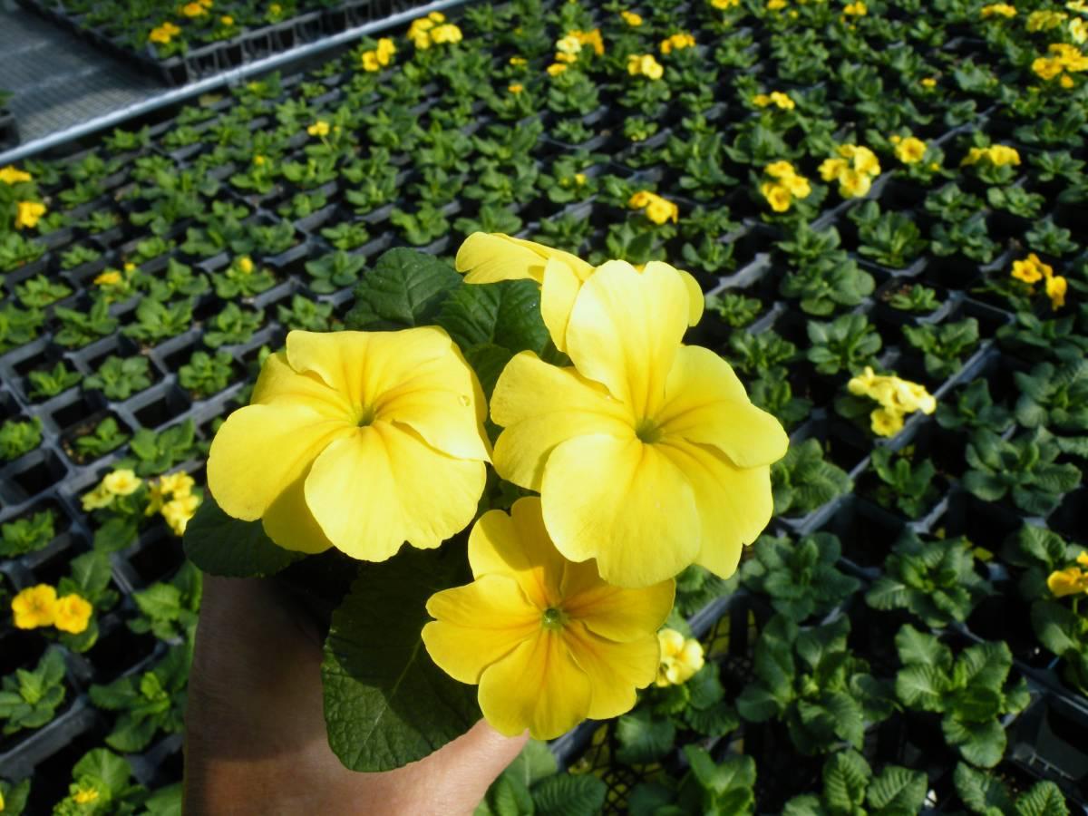 【農園】■プリムラ ジュリアン 黄色■花苗 20ポット _画像8