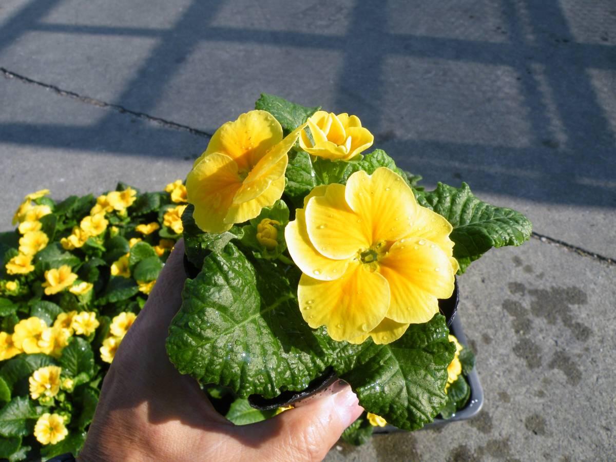 【農園】■プリムラ ジュリアン 黄色■花苗 20ポット _画像7