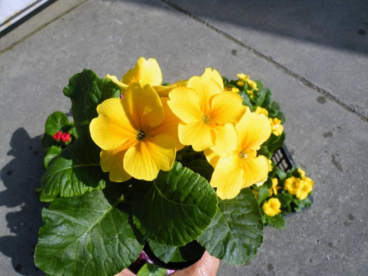 【農園】■プリムラ ジュリアン■花苗4色ミックス 20ポット _画像2