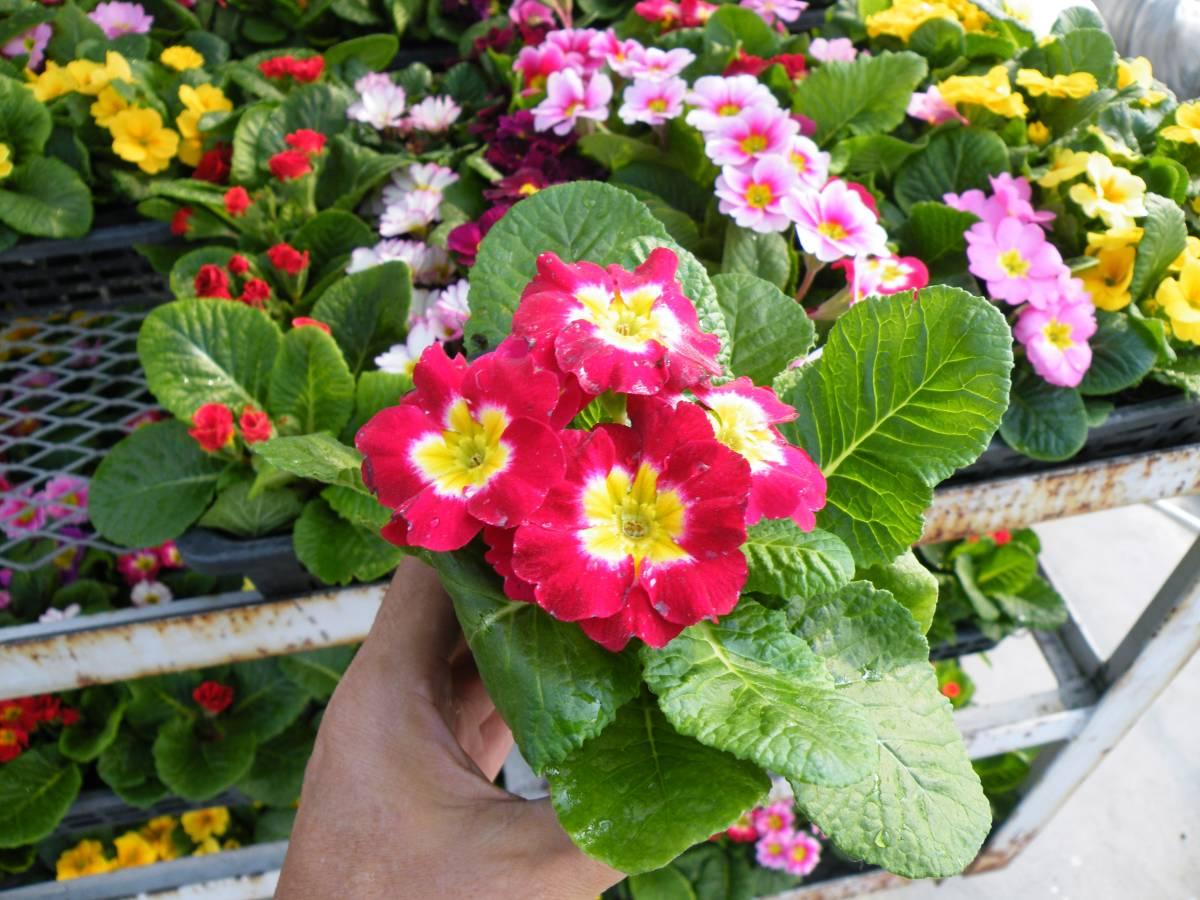 【農園】■プリムラ ジュリアン■花苗4色ミックス 20ポット _画像7