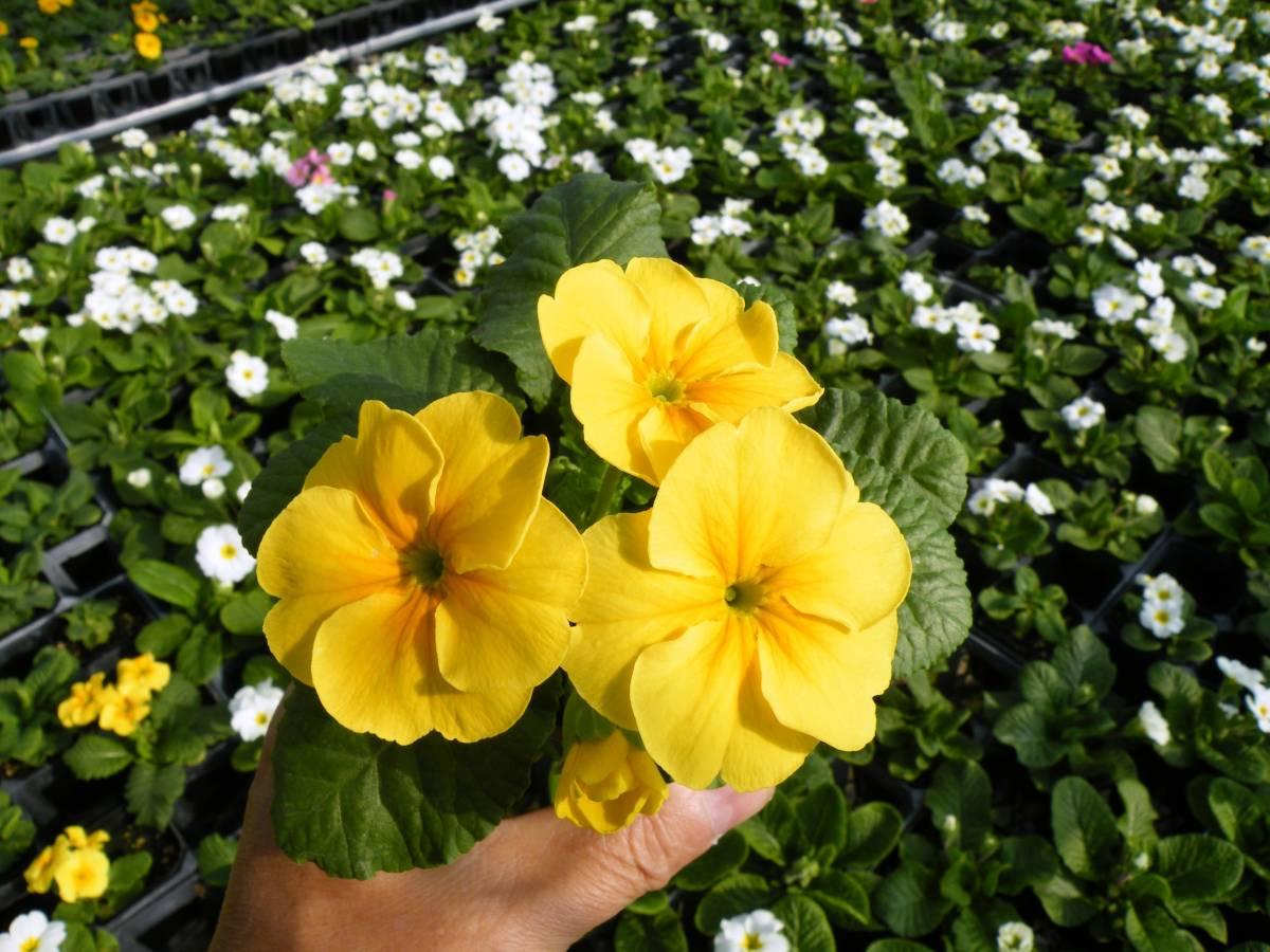 【農園】■プリムラ ジュリアン■花苗4色ミックス 20ポット _画像10