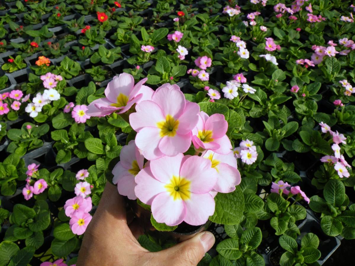 【農園】■プリムラ ジュリアン■花苗4色ミックス 20ポット _画像9