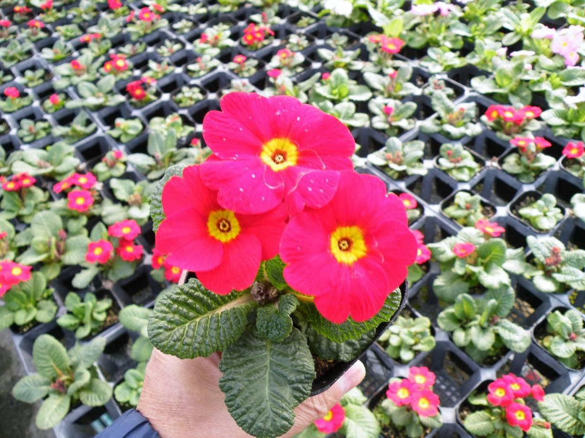 【農園】■プリムラ ジュリアン■花苗4色ミックス 20ポット _画像5