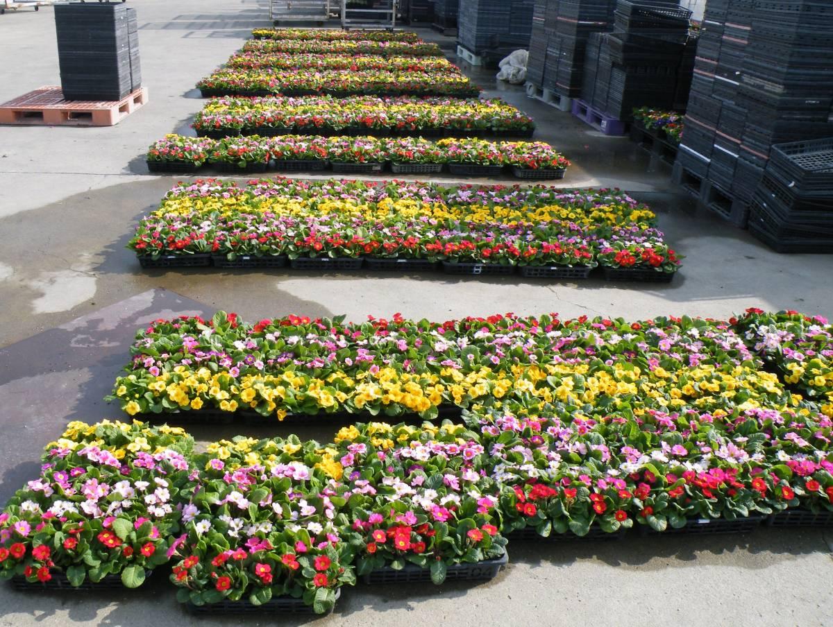 【農園】■プリムラ ジュリアン■花苗4色ミックス 20ポット _画像4