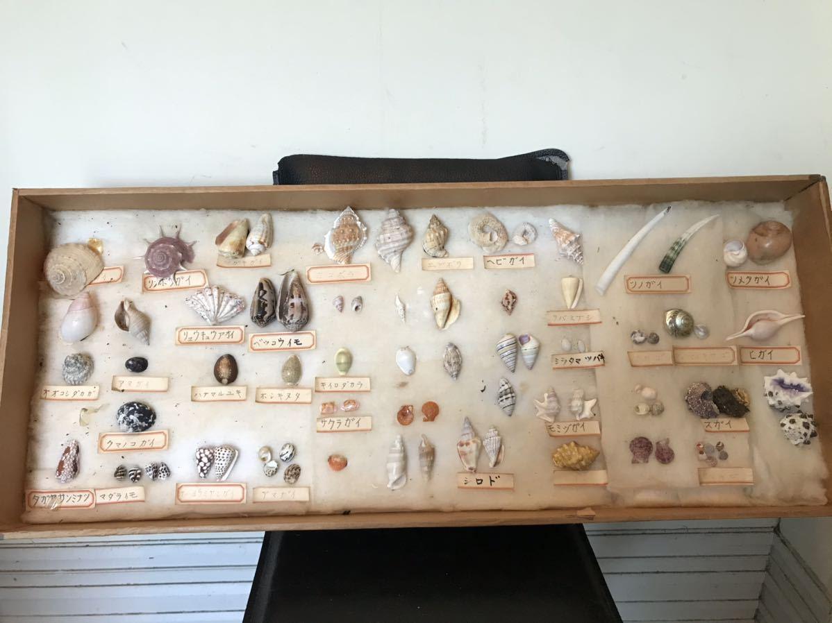 貝の標本 D_画像1