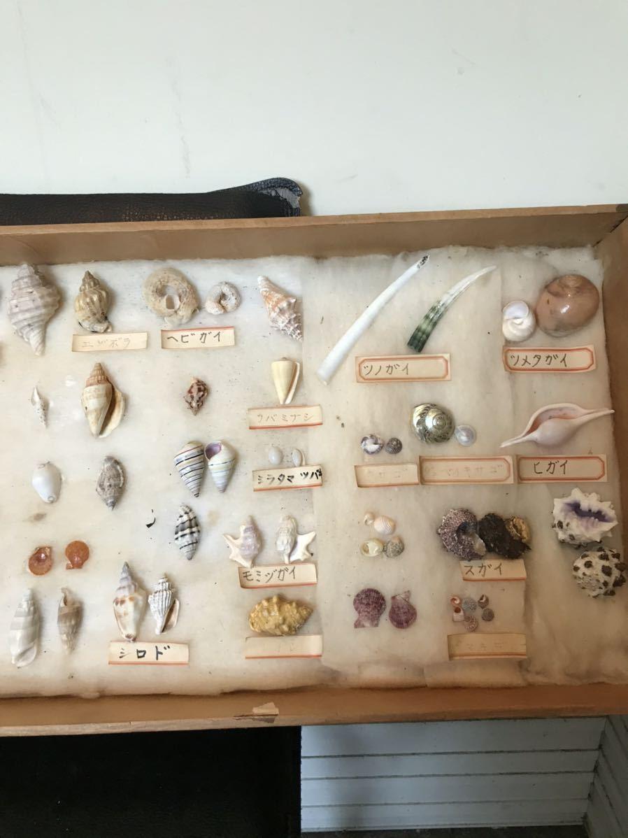 貝の標本 D_画像3