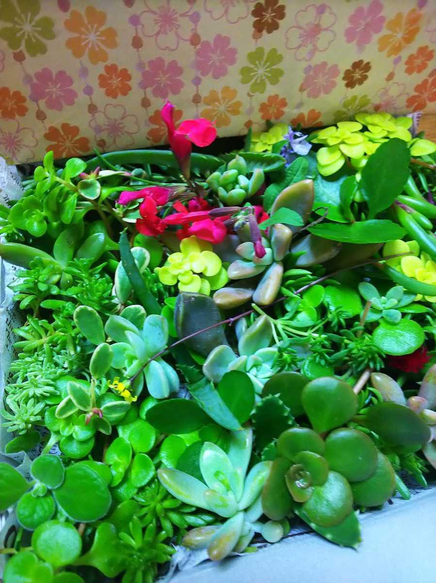 ☆多肉植物 カット苗 箱にいっぱい! 25種類