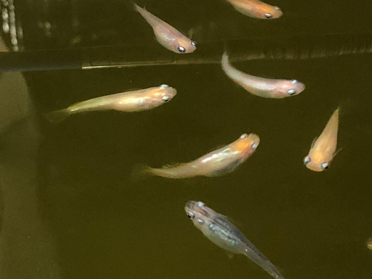 【種水3点付き】東北越冬いろいろ純血めだか有精卵50個+α (グリーンウォーター、ミジンコ、ゾウリムシ) _画像7