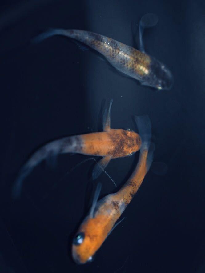 【種水3点付き】東北越冬いろいろ純血めだか有精卵50個+α (グリーンウォーター、ミジンコ、ゾウリムシ) _画像5