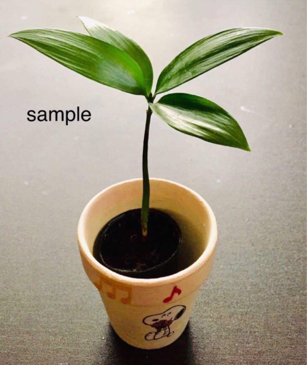 幸せを呼ぶ観葉植物なぎ根付き苗