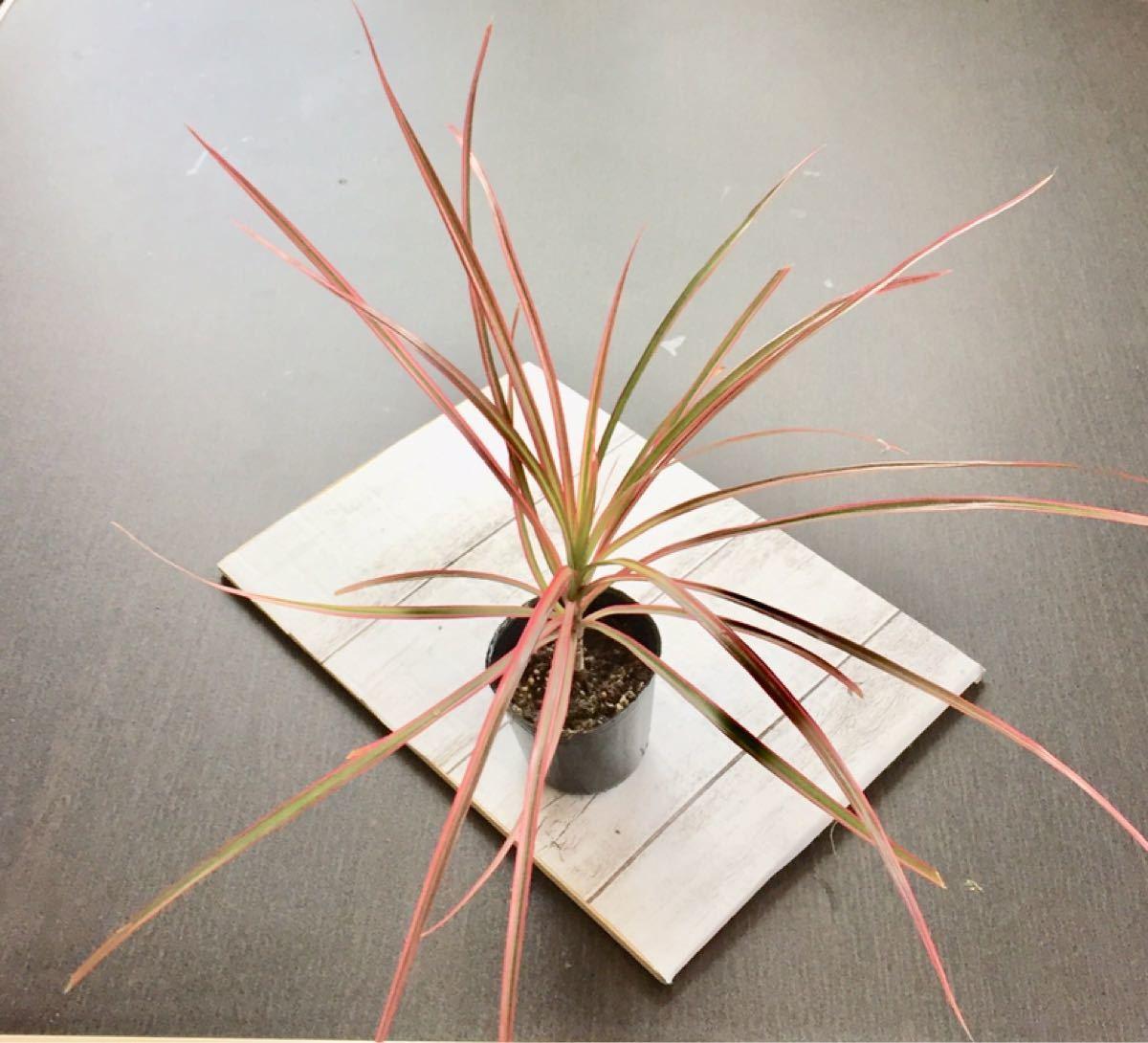 観葉植物!希少!コンシンネ レインボー根付き苗現品