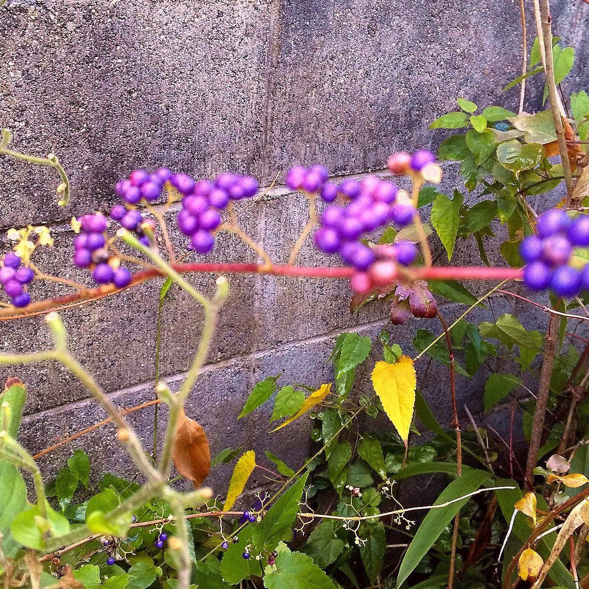送料無料150円即決!紫式部と白式部 (白実の紫式部) 種子各50+万両の種子15個_画像3