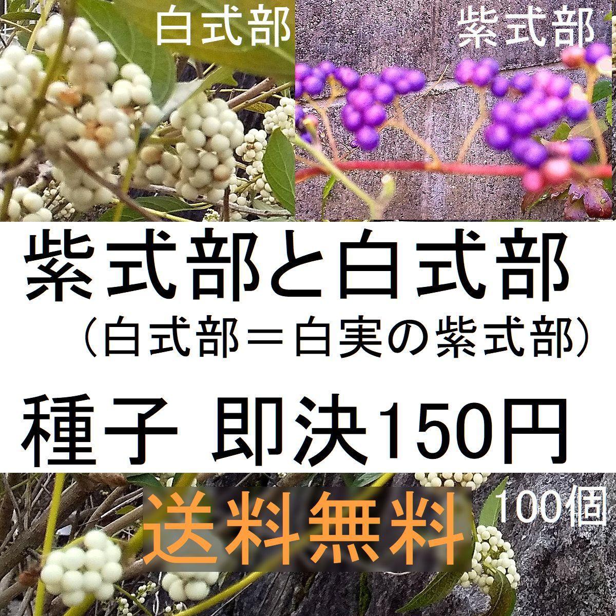 送料無料150円即決!紫式部と白式部 (白実の紫式部) 種子各50+万両の種子15個_今回は、万両のタネ15粒のおまけ付きです