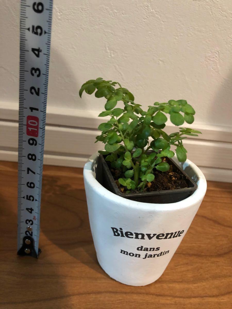 観葉植物 ピレア セルピラケア 小さな葉っぱが可愛い 抜き苗 風水 金運 浄化