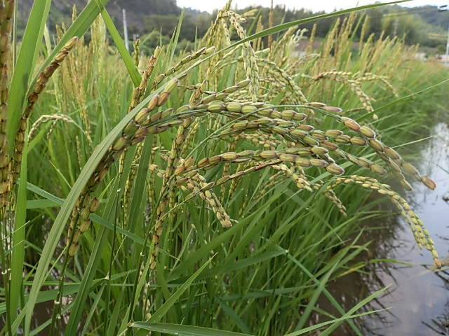 自然栽培 幸福の五穀(200g)熊本県で、無農薬・無肥料・無堆肥で元気に育った栄養豊富な雑穀米☆長年自家採取☆究極の自然栽培農法♪_画像4