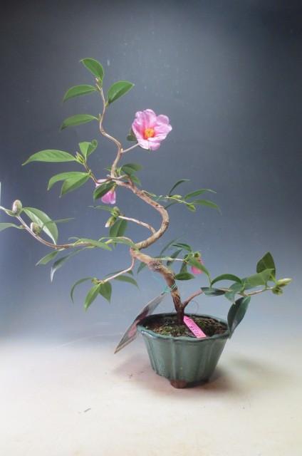 椿 太郎冠者 椿の盆栽 4045_画像1