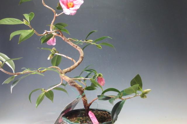 椿 太郎冠者 椿の盆栽 4045_画像3